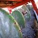 Small photo of Grana cochinilla