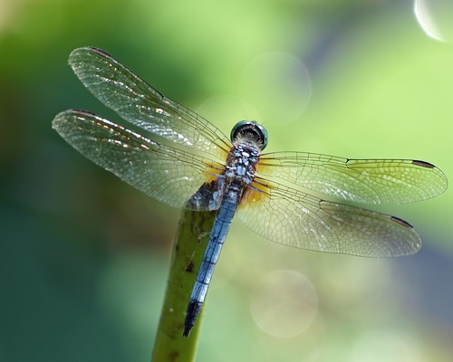 dragonfly bokeh © washingtonnc bluedasher garyburke zuiko70300mm olympuse620 pamlicoriverbasin