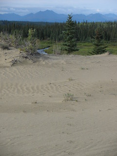 Wolf tracks on the Great Kobuk Sand Dunes