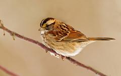 animal, sparrow, ortolan bunting, branch, wing, fauna, close-up, emberizidae, beak, house sparrow, brambling, bird, wildlife,