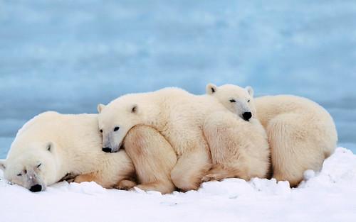 無料写真素材, 動物 , 熊・クマ, ホッキョクグマ・シロクマ, 動物  親子, 寝顔・寝姿