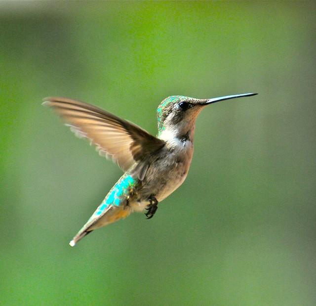 Female Ruby-throated Hummingbird  7