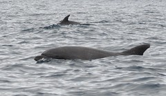 short-beaked common dolphin(0.0), grey whale(0.0), striped dolphin(0.0), stenella(0.0), humpback whale(0.0), animal(1.0), marine mammal(1.0), sea(1.0), common bottlenose dolphin(1.0), marine biology(1.0), dolphin(1.0), rough-toothed dolphin(1.0), tucuxi(1.0),