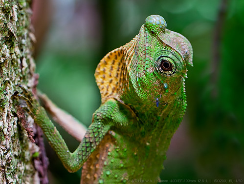 Hump- nosed Lizard (Lyriocephalus scutatus), male