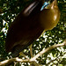 Nankeen Night Heron aka Rufous Night Heron (Nycticorax caledonicus)