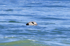 animal, marine mammal, ocean, wave, harbor seal,
