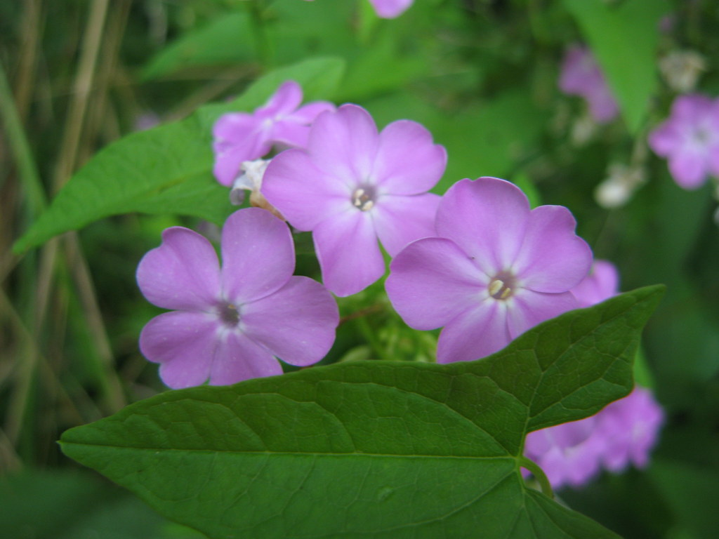Roadside phlox