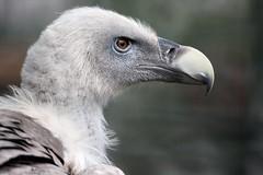 Gänsegeier - Gyps fulvus - Griffon Vulture