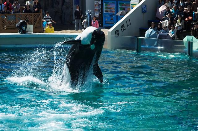 killer whale #12