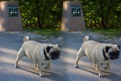 Stereoscopic dog