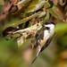 Black-capped Chickadee eating Spiders