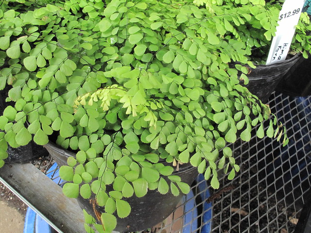 Adiantum definition meaning - Plantas de interior resistentes ...