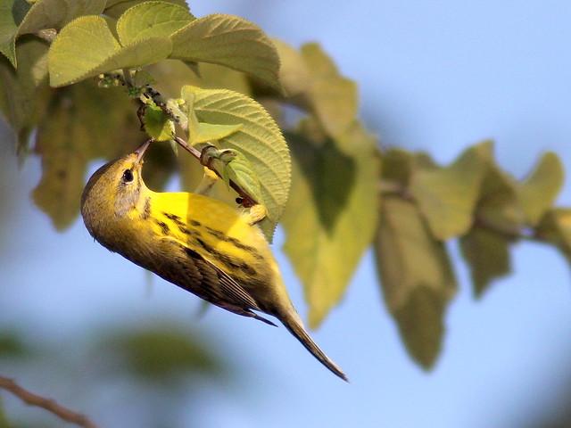 Prairie Warbler 2-20110204