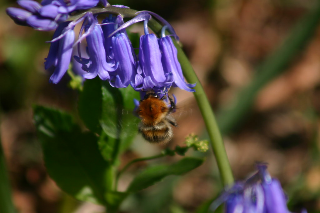 Bee in bluebells