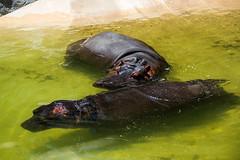 Hippopotamus's at the Los Angeles Zoo