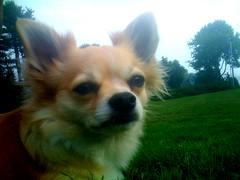 dog breed, chihuahua, animal, dog, papillon, carnivoran,