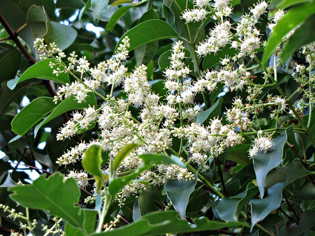 Ligustrum Wax Leaf Privet http://www.flickr.com/photos/mercadanteweb/4832160883/