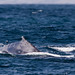 Two Humpback Whales Megaptera novaeangliae 29 July 2010