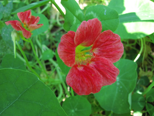 Colorful nasturtiums are blooming in the Children's Garden. Photo by Rebecca Bullene.