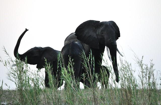 Elefantes en el parque nacional de Chobe. Botsuana.
