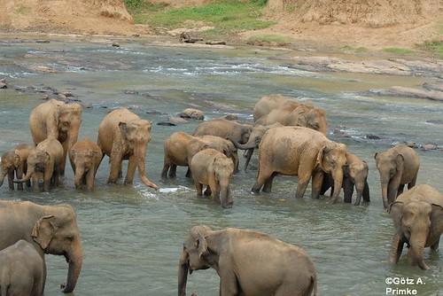 SriLanka_07_Elephant_Orphelins_2010_236