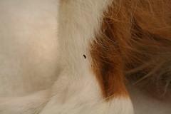 Flea on Leg