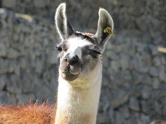 wildlife(0.0), alpaca(1.0), animal(1.0), mammal(1.0), llama(1.0), fauna(1.0), vicuã±a(1.0), guanaco(1.0),