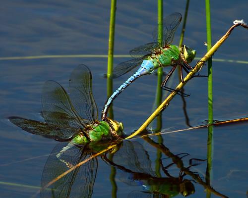 kh0831 brigantine naturesfinest 600l4 wildlifecanon600mmf4 insect dragonfly thousandplus nj odonta