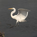 Photo of the Week - Great Egret at Forsythe National Wildlife Refuge, NJ