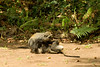 Male & female interaction, Zanzibar Sykes' Monkey - Jozani Forest, Zanzibar, Tanzania by David d'O