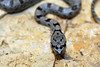 "<a href=""http://www.flickr.com/photos/medusasnail/4975422240/"">Photo of Pantherophis bairdi by A. Jaszlics</a>"