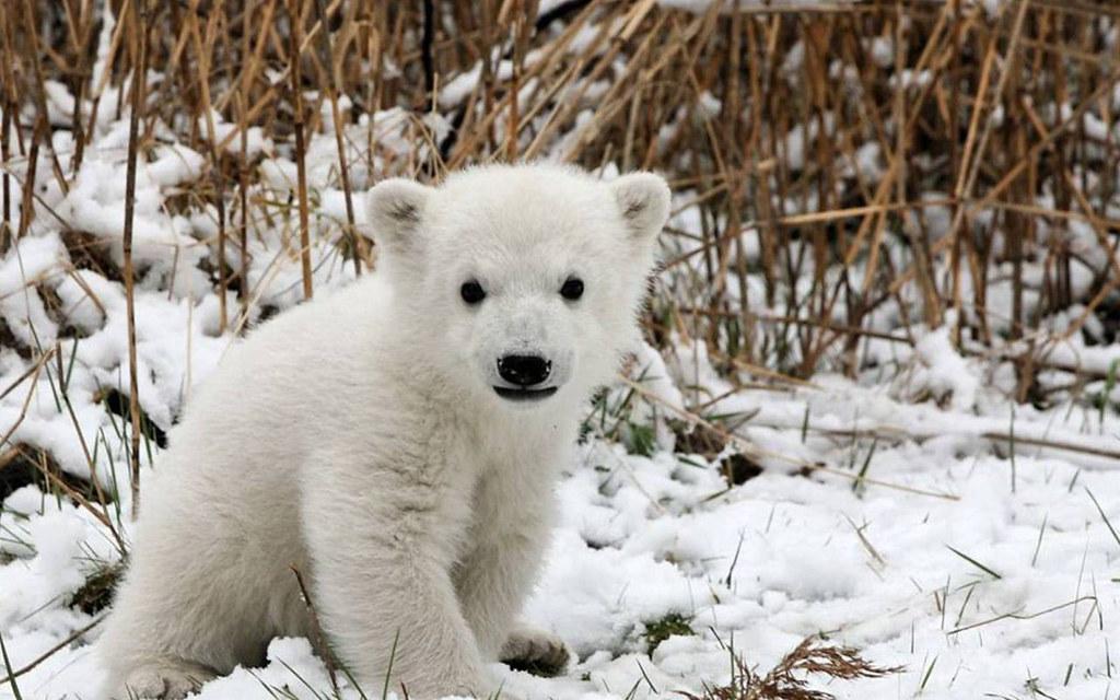 雪原にいる小さい白い熊