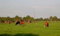 Sarasota - Cows behind House (2005)