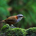 小彎嘴畫眉Streak-breasted Scimitar Babbler