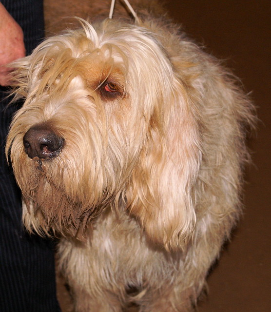 Otterhound Pictures an...