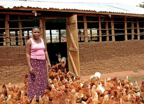 Uganda chickens