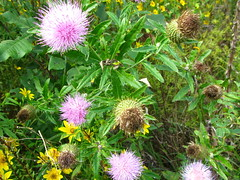 bee balm(0.0), purple coneflower(0.0), flower(1.0), thistle(1.0), plant(1.0), wildflower(1.0), flora(1.0), silybum(1.0),