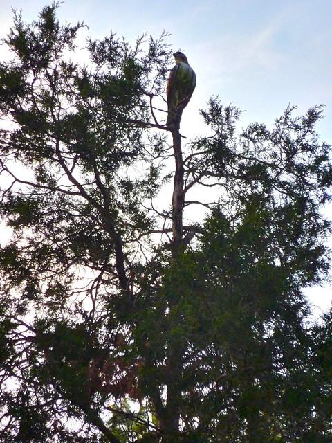 Red-tailed hawk at BBG. Photo by Karen Orlando.