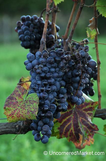 Montepulciano Wine Grapes - Tuscany, Italy