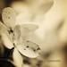 ~ hydrangea series # 3 ~
