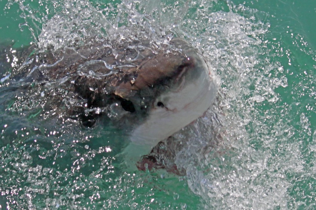male great white in Gansbaai - south Africa