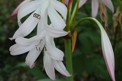 shrub(0.0), erythronium(0.0), hymenocallis(0.0), nerine sarniensis(0.0), lily(1.0), flower(1.0), hymenocallis littoralis(1.0), plant(1.0), flora(1.0),