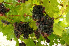 shrub(0.0), plant(0.0), sultana(0.0), produce(0.0), food(0.0), zante currant(0.0), agriculture(1.0), grape(1.0), fruit(1.0), vineyard(1.0),