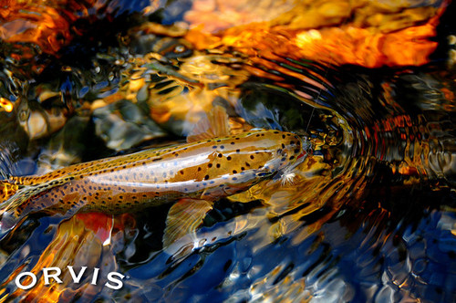 Pic of the day a beauty orvis news for Fly fishing competitions