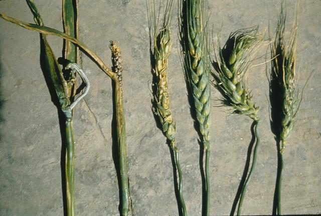 Bacterial spike blight in wheat
