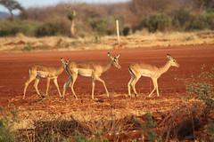 impala on runway