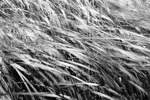 summer blackandwhite bw ontario canada film grass blackwhite movement dof wind kodak bokeh depthoffield 35mmfilm ft analogue shallow petri 2010 125 slowshutterspeed 125px px highwind ruralontario frozenmovement richardslanding ruralcanada matthewsisland