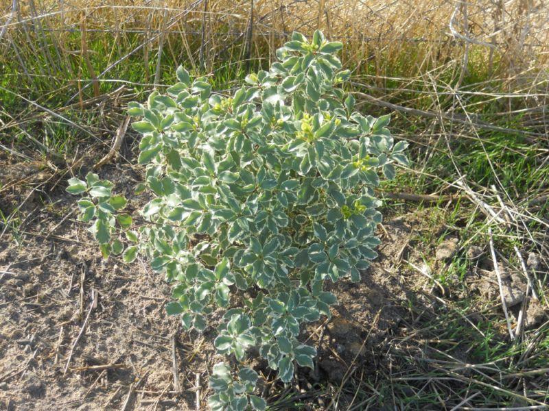 Pitosporo tenuifolium variegado tras plantación