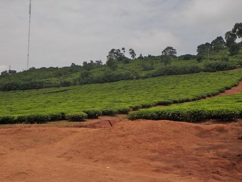 tea farms uganda nakigalala