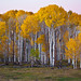 pre-dawn - aspens - Boulder Mountain - 10-15-10  01 by Tucapel